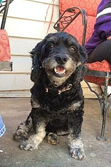 Poodle (Miniature)/Cocker Spaniel Mix Dog for adoption in Acworth, Georgia - Skipper