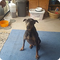Doberman Pinscher Dog for adoption in Columbus, Ohio - Stella