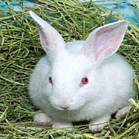 Adopt A Pet :: FOO FOO - Alameda, CA