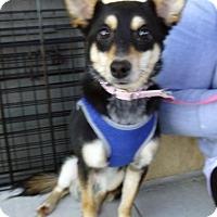 Adopt A Pet :: Zoey (Imani) - Madison, AL