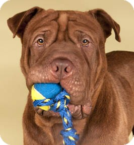 Dogue de Bordeaux/Shar Pei Mix Dog for adoption in Chicago, Illinois - Woodie