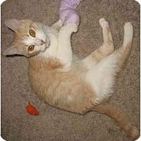 Adopt A Pet :: Jennifers MomCat - Cincinnati, OH