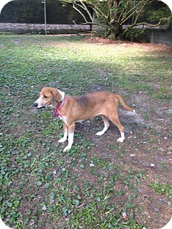 Beagle/Foxhound Mix Dog for adoption in Glen St Mary, Florida - Clover Leigh