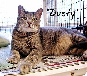 Domestic Shorthair Cat for adoption in Ocean City, New Jersey - Dusty
