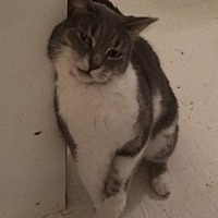 Domestic Shorthair Cat for adoption in Montreal, Quebec - Sophie