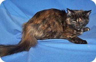 Domestic Mediumhair Cat for adoption in Colorado Springs, Colorado - Anastasia