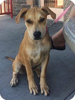 Labrador Retriever Mix Puppy for adoption in Yukon, Oklahoma - Amber