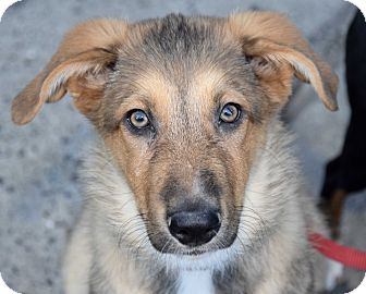Shepherd (Unknown Type)/Collie Mix Puppy for adoption in New York, New York - Hobson