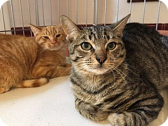 Domestic Shorthair Kitten for adoption in Monroe, New Jersey - Rusty and Dusty-URGENT