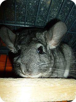 Chinchilla for adoption in Jacksonville, Florida - Chi Chi