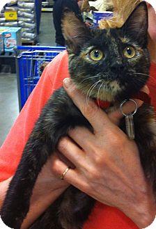 Domestic Shorthair Kitten for adoption in Pittstown, New Jersey - Maya