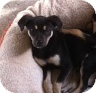German Shepherd Dog Mix Puppy for adoption in Modesto, California - Sage