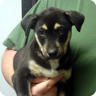 German Shepherd Dog/Husky Mix Puppy for adoption in Greencastle, North Carolina - Hugo