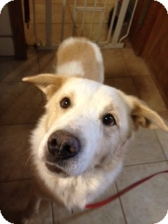 Shepherd (Unknown Type)/Collie Mix Dog for adoption in Phoenix, Arizona - Lou