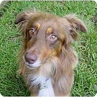 Adopt A Pet :: Brumby - Orlando, FL