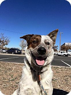 Australian Cattle Dog Mix Dog for adoption in Albuquerque, New Mexico - Bo