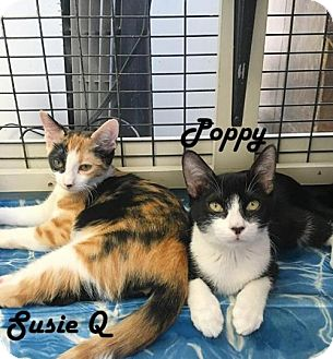 Calico Kitten for adoption in Redwood City, California - Susie Q and Bear