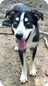 Siberian Husky Dog for adoption in Memphis, Tennessee - Sabastian~UPDATE!