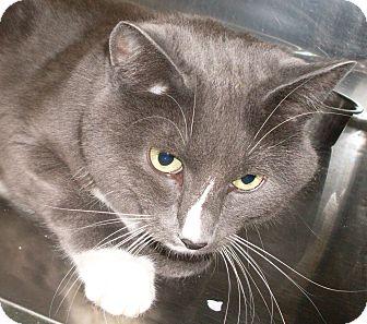 Domestic Shorthair Cat for adoption in Buhl, Idaho - Bootsie