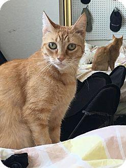 Domestic Shorthair Cat for adoption in Los Angeles, California - Pumpkin
