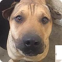Adopt A Pet :: Cheer - Springdale, AR
