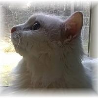 Adopt A Pet :: Divinity - Seattle c/o Kingston 98346/ Washington State, WA