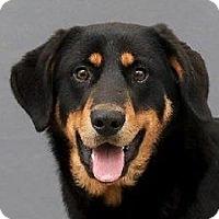 Adopt A Pet :: Marley    URGENT - St. Charles, MO