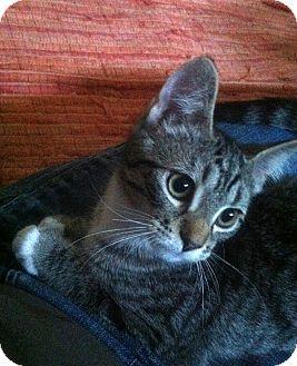 Domestic Shorthair Kitten for adoption in Chicago, Illinois - Eden