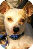 Chihuahua Mix Dog for adoption in Santa Monica, California - Willie