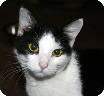 Domestic Shorthair Cat for adoption in Canoga Park, California - Letti