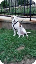 American Staffordshire Terrier/American Bulldog Mix Dog for adoption in Sinking Spring, Pennsylvania - Diamond