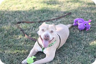 American Staffordshire Terrier Dog for adoption in Fresno, California - Bubba Beast