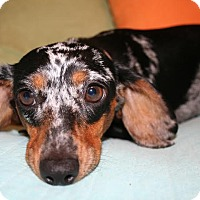 Adopt A Pet :: *Dottie - PENDING - Westport, CT