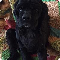 Adopt A Pet :: Precious-Adoption Pending - Sacramento, CA