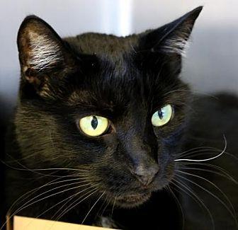 Domestic Shorthair Cat for adoption in Roseville, California - Harry
