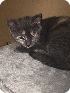 Domestic Shorthair Kitten for adoption in Marlton, New Jersey - Marigold