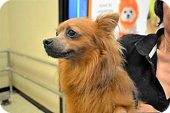 Pomeranian Mix Dog for adoption in Tavares, Florida - Copper