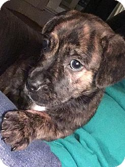 Pit Bull Terrier Mix Puppy for adoption in Laingsburg, Michigan - Sage