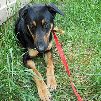 Doberman Pinscher/German Shepherd Dog Mix Dog for adoption in Palmyra, Nebraska - Chief