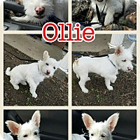 Adopt A Pet :: Ollie pending adoption - Manchester, CT