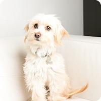 Adopt A Pet :: Nicco - Inglewood, CA