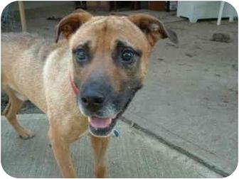 Shepherd (Unknown Type) Mix Dog for adoption in Wilmington, Massachusetts - Frankie
