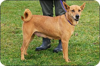 Shepherd (Unknown Type)/Shiba Inu Mix Dog for adoption in Metamora, Indiana - Macy