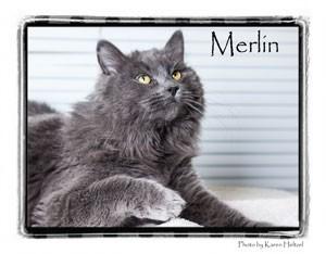 Domestic Longhair Cat for adoption in Warren, Pennsylvania - Merlin
