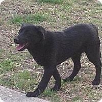 Adopt A Pet :: Chief - West New York, NJ