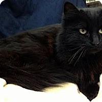 Adopt A Pet :: Indigo - Alexandria, VA