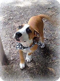 Hound (Unknown Type)/Labrador Retriever Mix Puppy for adoption in Groveland, Florida - Solo (16 weeks)