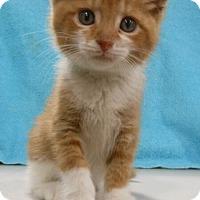 Adopt A Pet :: Springer - Reston, VA