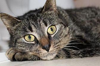 Domestic Shorthair Cat for adoption in Greensboro, North Carolina - Larisa