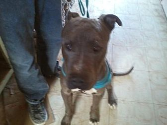Great Dane/Pit Bull Terrier Mix Dog for adoption in Chandler, Arizona - PRINCE 2
